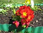 Lundviva Primula elatior mixture 2009-04-29 037