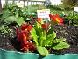 Primula elatior mixture (2009-04-29 042)