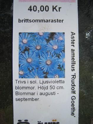 Brittsommaraster { Aster Amellus
