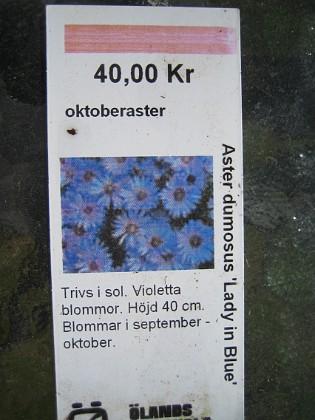 Oktoberaster Aster Dumosus 'Lady in Blue' 2009-05-02 002 Granudden Färjestaden Öland