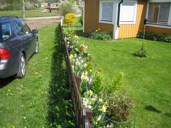 Granudden Narcisser och Tulpaner på insidan, Lupiner på  utsidan. 2009-05-09 002 Granudden Färjestaden Öland