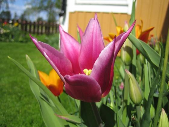 Liljeblommiga tulpaner  2009-05-09 061 Granudden Färjestaden Öland