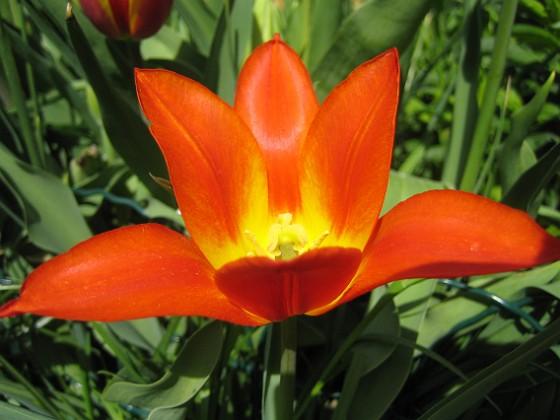 Liljeblommiga tulpaner &nbsp 2009-05-09 065 Granudden Färjestaden Öland