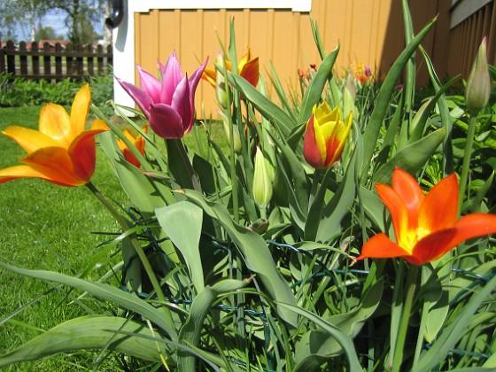 Liljeblommiga tulpaner &nbsp 2009-05-09 066 Granudden Färjestaden Öland