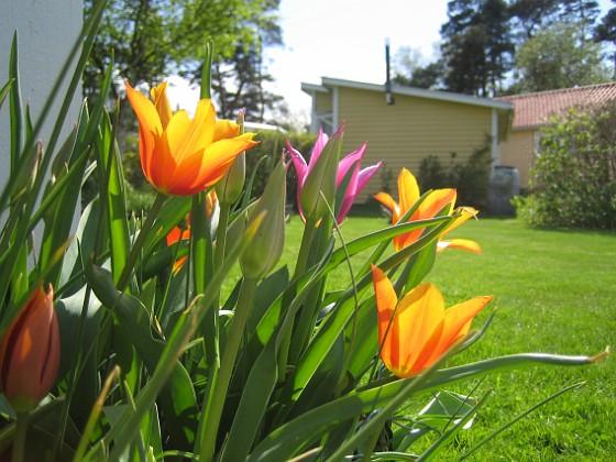 Liljeblommiga tulpaner &nbsp 2009-05-09 069 Granudden Färjestaden Öland