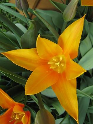 Liljeblommiga Tulpaner &nbsp 2009-05-09 118 Granudden Färjestaden Öland