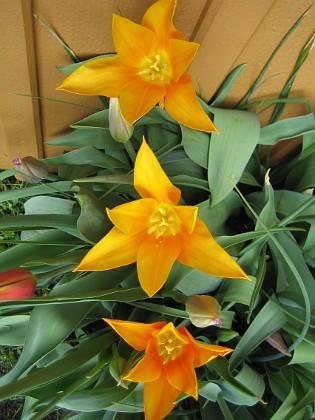 Liljeblommiga Tulpaner  2009-05-09 119 Granudden Färjestaden Öland