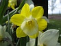 Narciss  2009-05-09 010