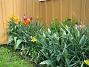 Liljeblommiga tulpaner  2009-05-09 080