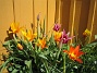 Liljeblommiga Tulpaner  2009-05-09 137