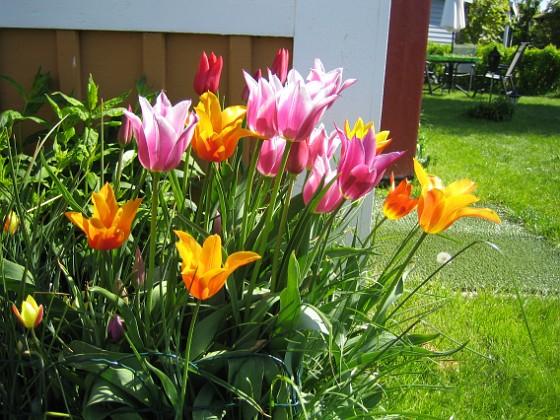 Tulpaner Detta är nysatta Liljeblommiga Tulpaner 2009-05-17 012 Granudden Färjestaden Öland