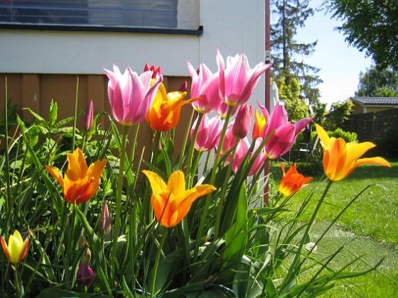 Liljeblommiga Tulpaner &nbsp 2009-05-17 031 Granudden Färjestaden Öland