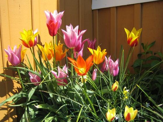 Liljeblommiga Tulpaner &nbsp 2009-05-17 043 Granudden Färjestaden Öland