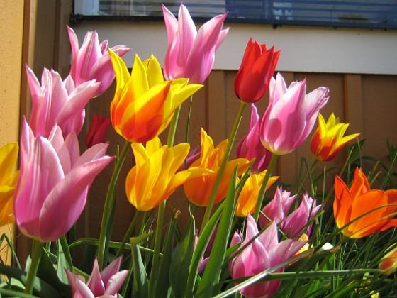 Liljeblommiga Tulpaner &nbsp 2009-05-17 048 Granudden Färjestaden Öland