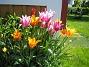 Detta är nysatta Liljeblommiga Tulpaner (2009-05-17 012)