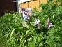 Skogshyacinter  2009-05-17 072