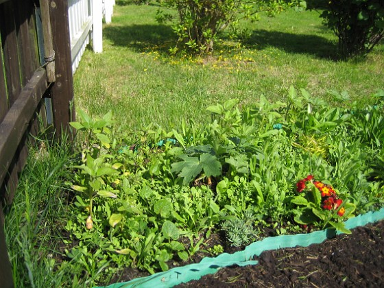 Bakgården Välkommen till Peters grönsaksodling! Nej inte alls, jag bara skämtar. Det här är mina frön som har grott så in i norden.&nbsp 2009-05-21 007 Granudden Färjestaden Öland