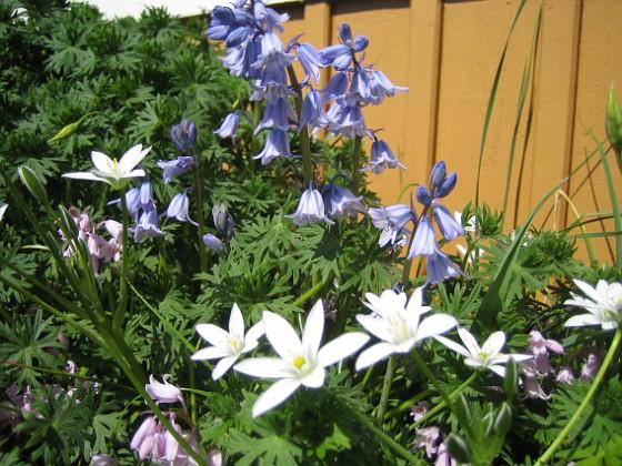 Vitt & blått I bakgrunden skymtar blå Skogshyacint.&nbsp 2009-05-21 014 Granudden Färjestaden Öland