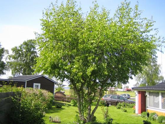 Björken &nbsp 2009-05-21 028 Granudden Färjestaden Öland