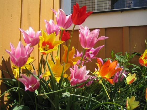 Liljeblommiga Tulpaner &nbsp 2009-05-21 063 Granudden Färjestaden Öland
