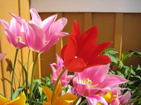 Liljeblommiga Tulpaner &nbsp 2009-05-21 072 Granudden Färjestaden Öland
