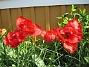 Papegojtulpaner Dessa är rödare än rosor. 2009-05-21 040