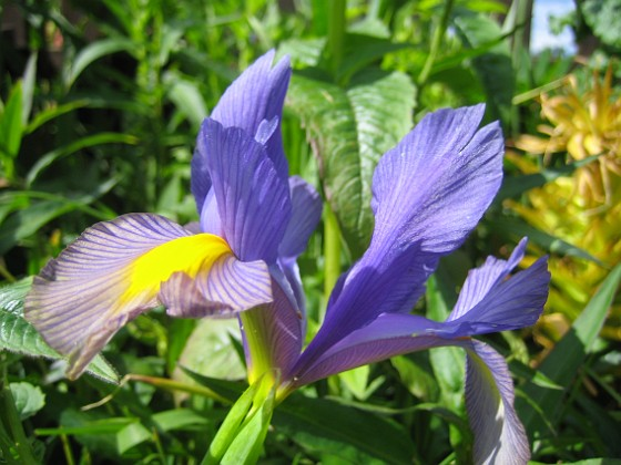 Iris  2009-06-14 029 Granudden Färjestaden Öland