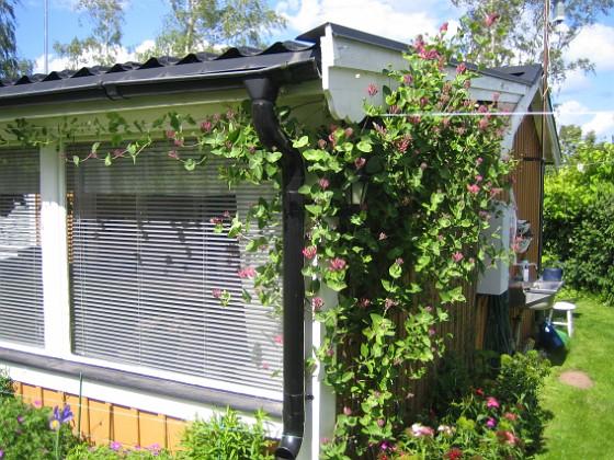 Blomsterkaprifol  2009-06-14 051 Granudden Färjestaden Öland