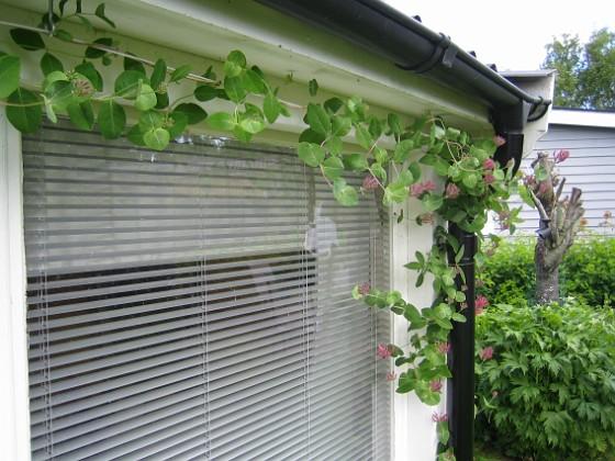 Blomsterkaprifol &nbsp 2009-06-14 076 Granudden Färjestaden Öland