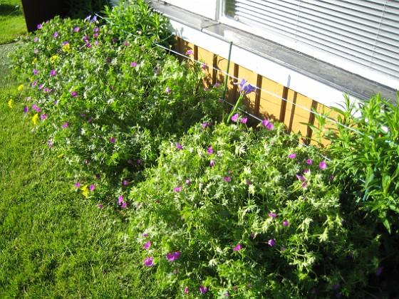 Blodnäva  2009-06-18 076 Granudden Färjestaden Öland