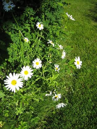 Prästkrage  2009-06-18 085 Granudden Färjestaden Öland