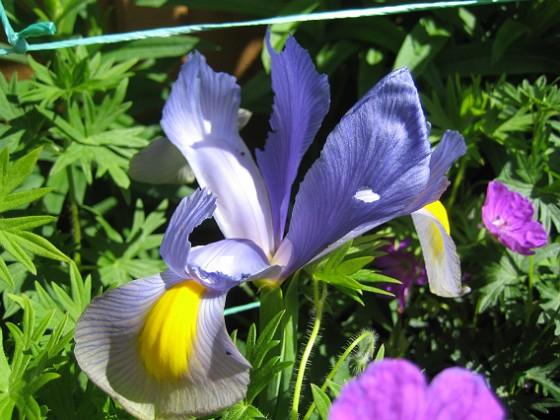 Iris  2009-06-19 017 Granudden Färjestaden Öland