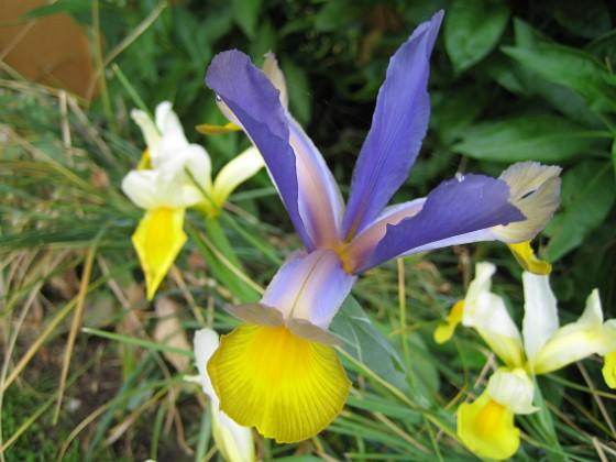 Iris &nbsp 2009-06-30 031 Granudden Färjestaden Öland