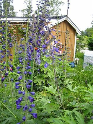 Riddarsporre  2009-06-30 073 Granudden Färjestaden Öland