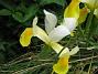 Iris  2009-06-30 032