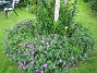 Blodnäva  2009-06-30 051