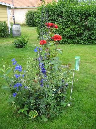 Rosbuske Här finns två klängrosor, som i år inte har blivit så bra. Under dessa 4 mindre rosplantor, som jag köpte på ICA Kvantum till Jul! Dessutom några Riddarsporrar, 'Sky Lights'. 2009-07-08 IMG_0115 Granudden Färjestaden Öland