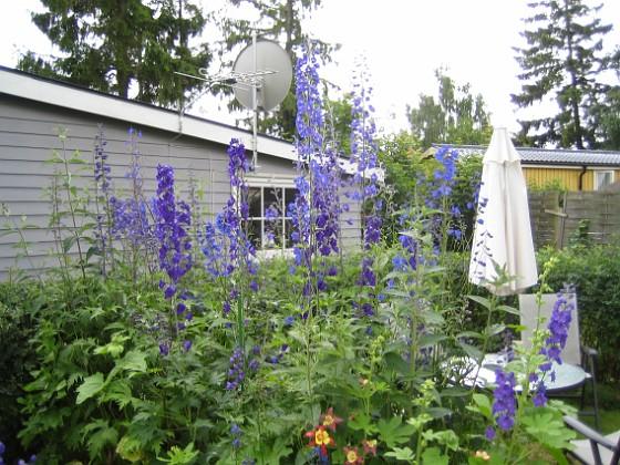 Riddarsporrar  2009-07-08 IMG_0235 Granudden Färjestaden Öland
