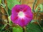 Slingerväxt På södra gaveln har jag satt ett spaljenät och undertill har jag planterat ut allehanda ettåriga slingerväxter. 2009-07-08 IMG_0103