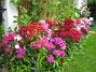 Borstnejlika Vid södra gavlen har jag fullt med Borstnejlikor i alla möjliga färger. 2009-07-08 IMG_0112