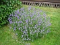 Lavendel  2009-07-08 IMG_0145