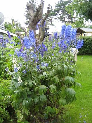 Riddarsporrar &nbsp 2009-07-15 IMG_0103 Granudden Färjestaden Öland