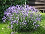 Lavendel  2009-07-15 IMG_0019
