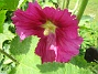 Nu börjar mina Stockrosor blomma! Alcea Rosea Ficifolia heter denna enkla och fleråriga Stockros. (2009-07-15 IMG_0031)