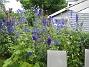 Riddarsporrar  2009-07-15 IMG_0104