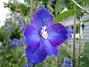 Riddarsporre  2009-07-15 IMG_0177