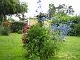 Riddarsporre 'Sky Lights'  2009-07-15 IMG_0221