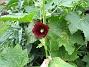 Alcea Rosea Ficifolia  2009-07-15 IMG_0224