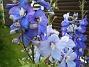 Riddarsporre  2009-07-15 IMG_0252