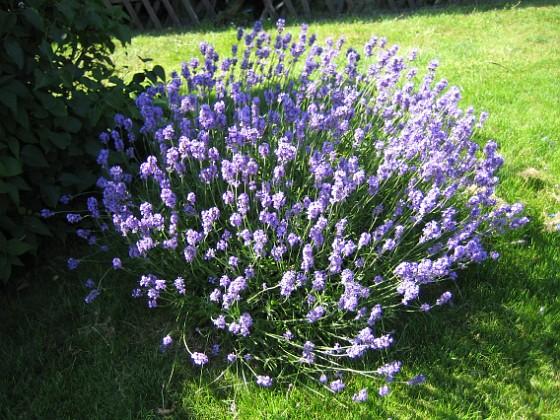 Lavendel  2009-07-17 IMG_0014 Granudden Färjestaden Öland